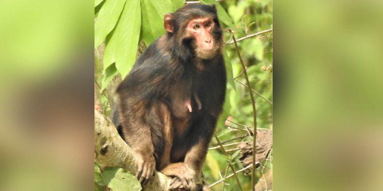 Melanistic Rhesus Macaque