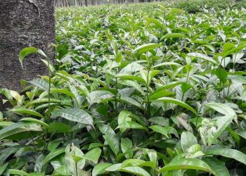 Arunachal Pradesh tea