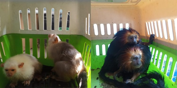 The forest officials rescued one pair of Macao (primate species), four Silvery Marmosets and one pair of Golden-headed Tamarin. Image credit: Tejas Mariswamy