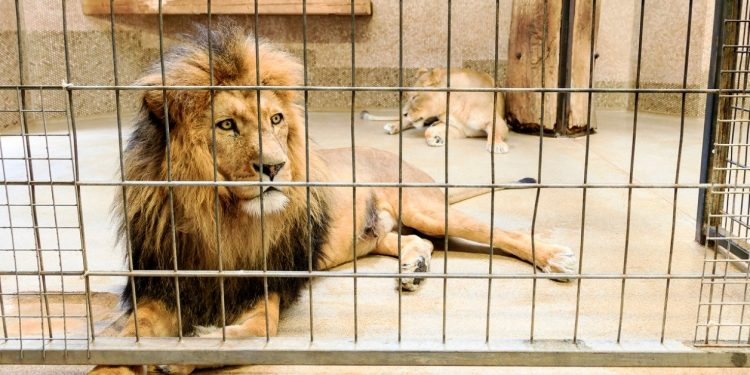 The lion attacked the man when he entered the animal's enclosure, leaving him seriously injured.