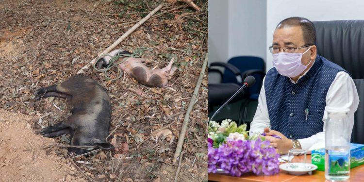 African swine fever kills 671 pigs in Mizoram 1