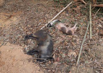 African Swine Fever Mizoram dead pigs