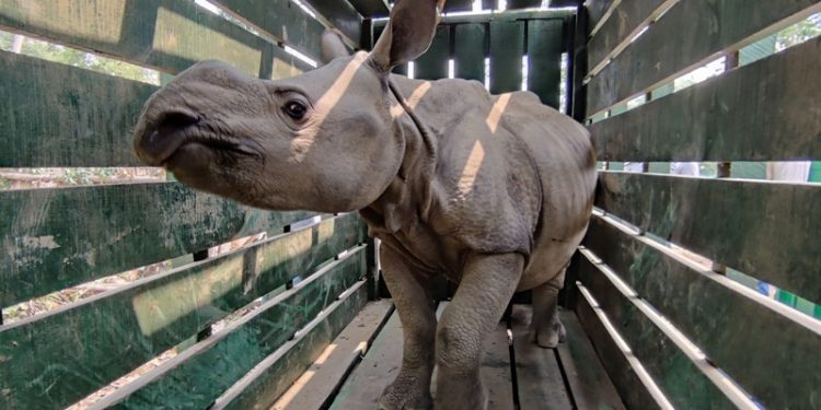 One among the three rhino calves after being loaded in the dedicated translocation- crate for translocation from CWRC – Kaziranga National Park. Photo:   Madhumay Mallik/ WTI-IFAW
