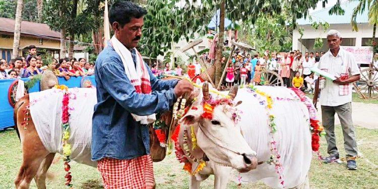 Cows walk the ramp in Bajali