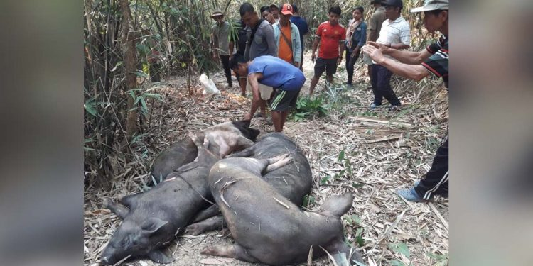MizoramAfrican Swine Fever in Mizoram