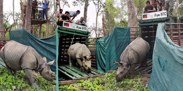 Rhino calves released in Manas