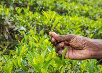 Tea garden Tata Tea
