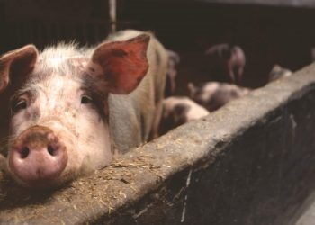 Mizoram: 920 pigs die due to African Swine Fever in less than one month 3