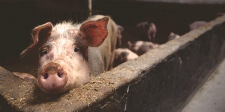 Mizoram: 920 pigs die due to African Swine Fever in less than one month 1