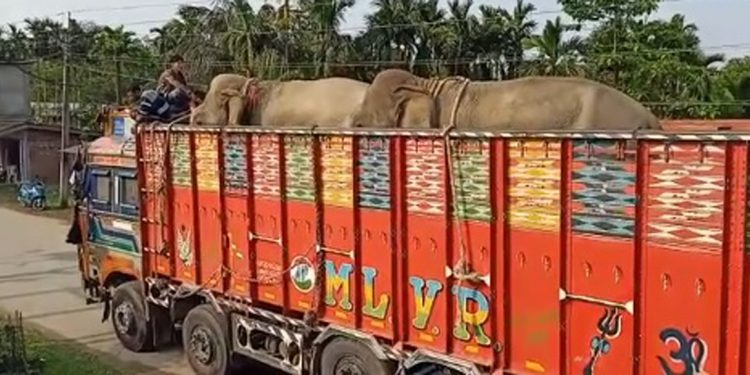 Assam: Police intercept truck with two elephants at Makum in Tinsukia district 1