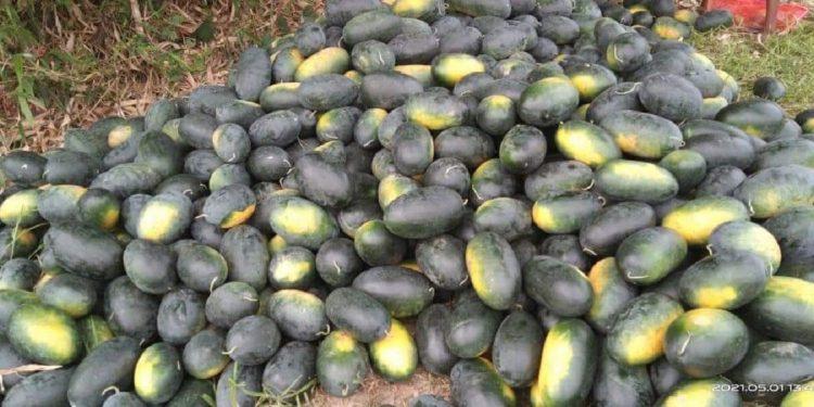 Assam COVID-19 woes: Watermelon cultivators in distress, Mazbat MLA seeks compensation 1