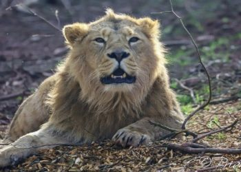 First in India: 8 Asiatic lions test COVID-19 positive in Hyderabad Zoo 1