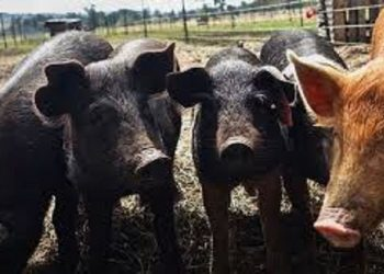 Nagaland: African swine fever reported in Phek and Kiphire district 1