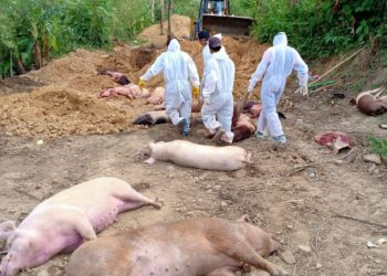 Economic stances of piggery farmers at stake, 4751 pigs killed by African Swine Fever: Mizoram CM Zoramthanga 1