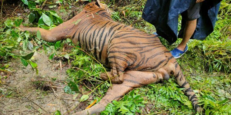 Assam: Forest guards kill Royal Bengal Tiger in Kaziranga National Park 1