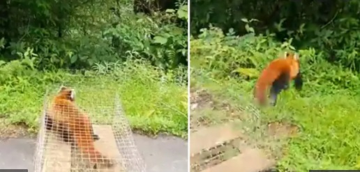 Arunachal: Rescued red panda released into wild, video wins internet 1
