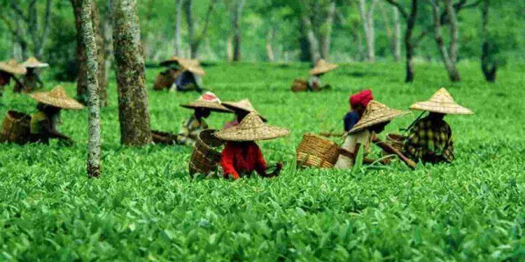 Human organs mafia targeting tea garden workers in Assam 1