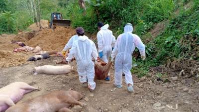 Over 10,600 pigs die in Mizoram due to African Swine Fever 1