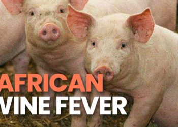 African Swine Fever spreading rapidly in Assam's Darrang, pigs culled 1