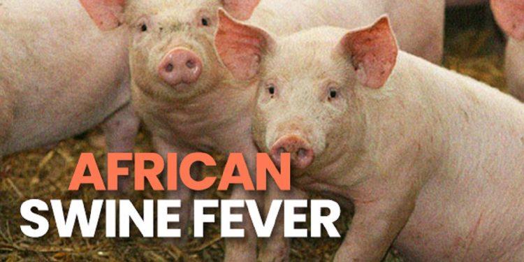 African Swine Fever continues to wreak havoc in Mizoram, 280 pigs dead today 1