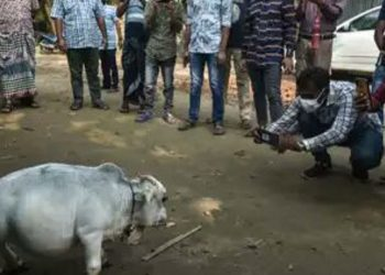 Dwarf cow in Bangladesh becomes centre of attraction, thousands flock small farm near Dhaka 5