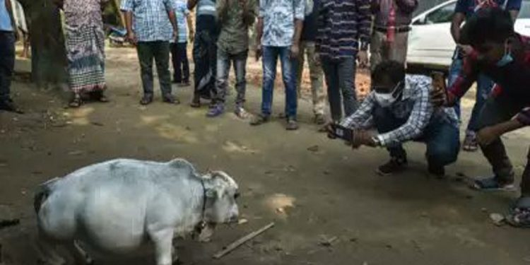 Dwarf cow in Bangladesh becomes centre of attraction, thousands flock small farm near Dhaka 1