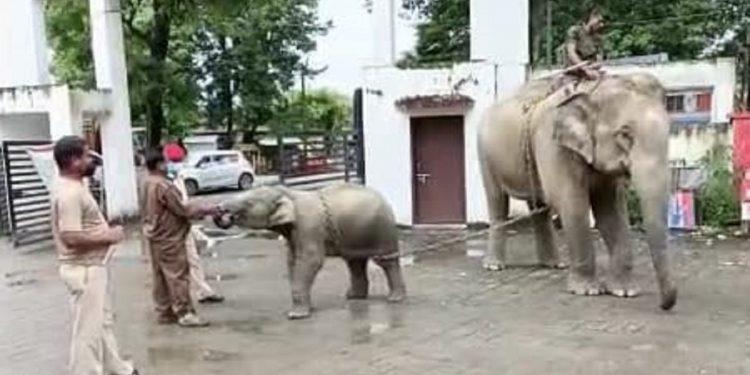 Assam Police 'seizes' elephants owned by former MLA Jiten Gogoi 1