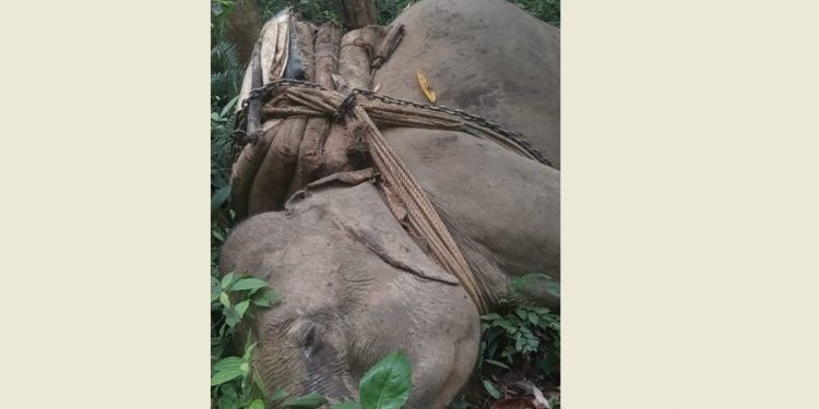 Assam: Jumbo used by timber smugglers for transporting logs killed in gunfight in Dehing Patkai National Park 1