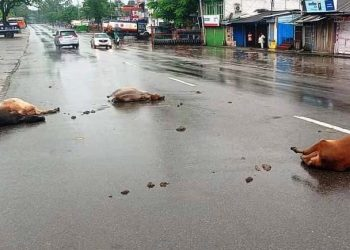 Lakhimpur cattle