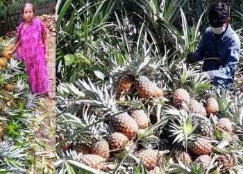 pineapples in Lakhimpur