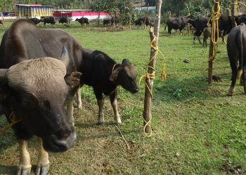 Foot-and-Mouth disease: Over 800 mithuns, 71 cows die of infection in Arunachal Pradesh 2