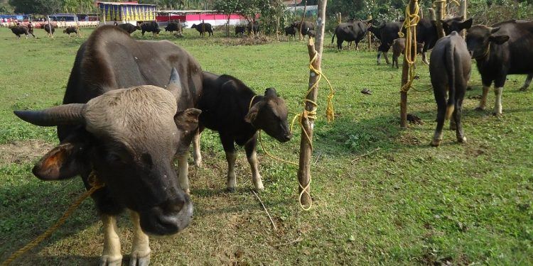 Foot-and-Mouth disease: Over 800 mithuns, 71 cows die of infection in Arunachal Pradesh 1