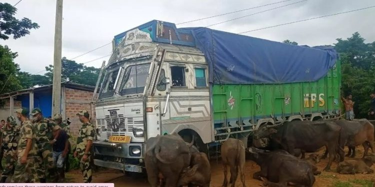 Assam: 22 buffaloes recovered in Cachar, two held 1