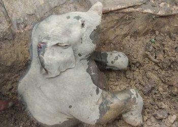 wild jumbo elephnat dead