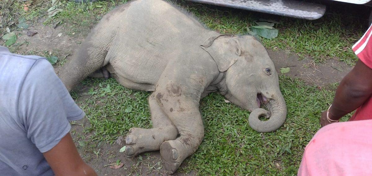 Assam: 3-year-old elephant falls into ditch at Borengajuli tea garden in Udalguri, dies 4