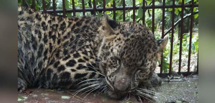 leopard caged in Dibrugarh