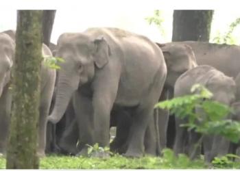 Assam elephants