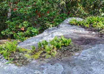 Arunachal: In a first, 'resurrecting herb' spotted in Lower Subansiri 5