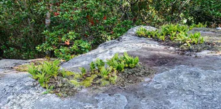 Arunachal: In a first, 'resurrecting herb' spotted in Lower Subansiri 1