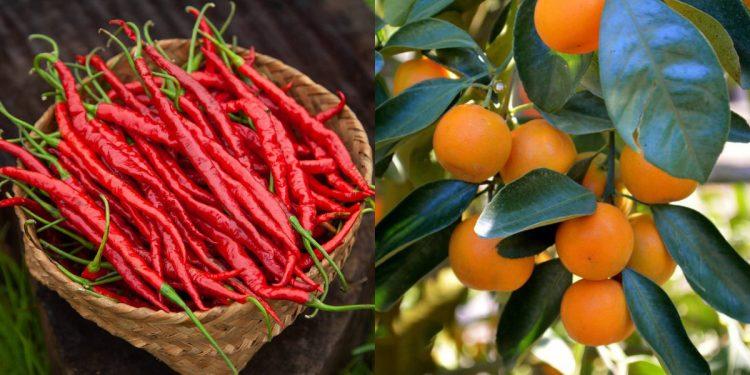 Manipur: Hathei chilli and Tamenglong orange get GI tag 1