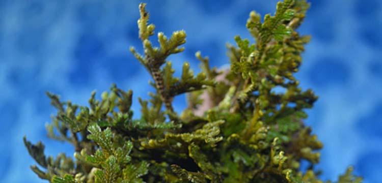 Selaginella bryopteris