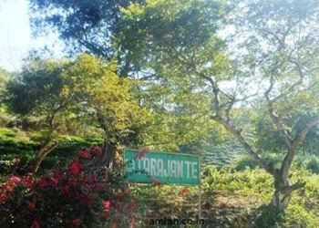 A view of Tarajan tea estate.
