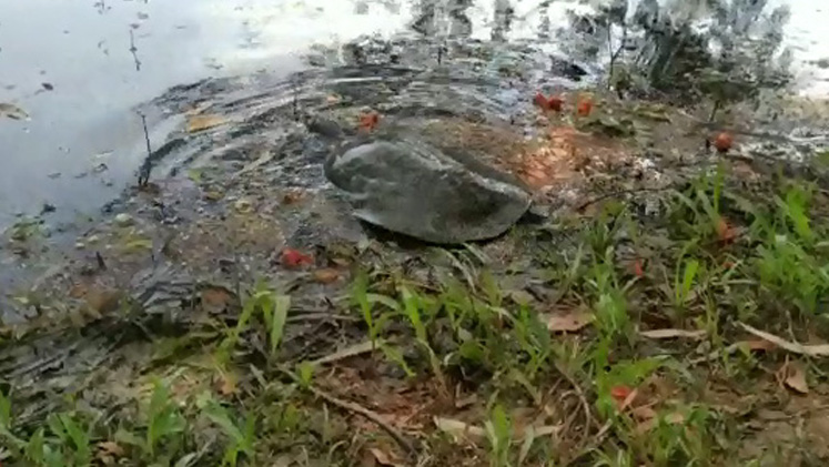 WTI veterinarian removes fishing hook swallowed by endangered turtle in Assam 4
