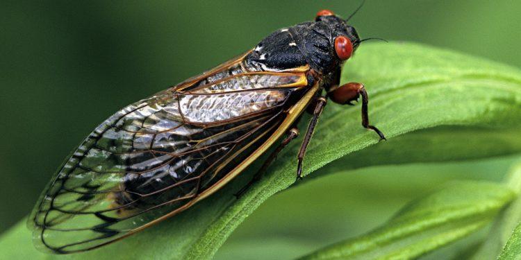 Meghalaya scientists discover Nagaland's first cicada species 1