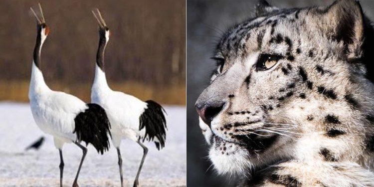 Ladakh declares black-necked crane as state bird, snow leopard as state animal 1