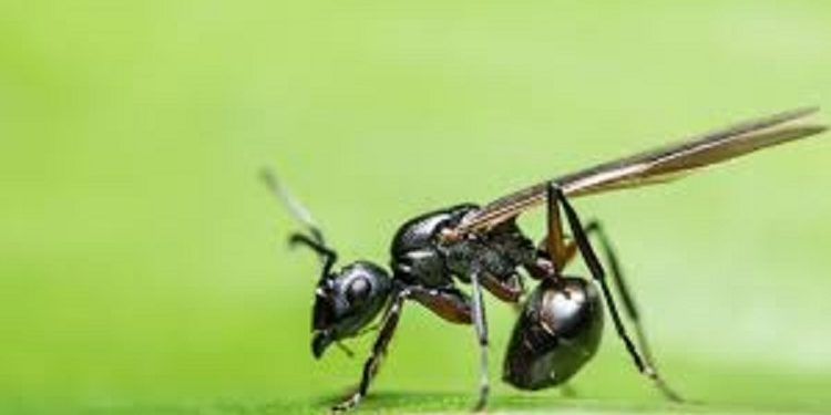 Two rare ant species spotted in Arunachal 1
